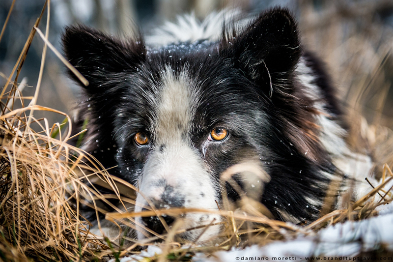 damiano moretti photography - wildlife - Scottish Sheepdog
