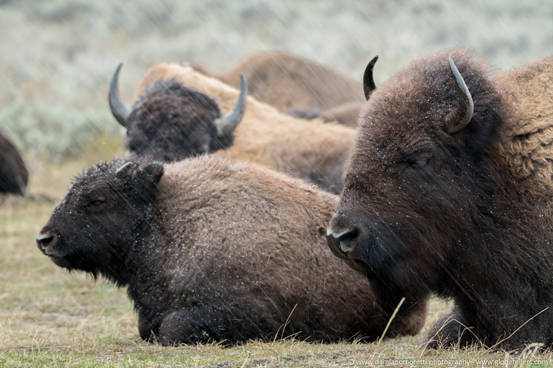 damiano moretti photography - wildlife - American Bison - Yellowstone