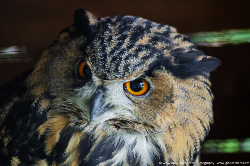 damiano moretti photography - wildlife - Eagle Owl