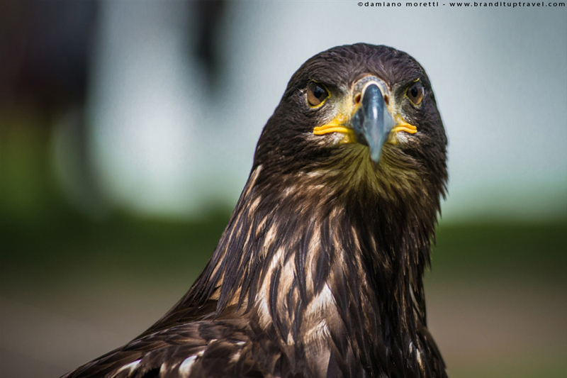 damiano moretti photography - wildlife - Golden Eagle