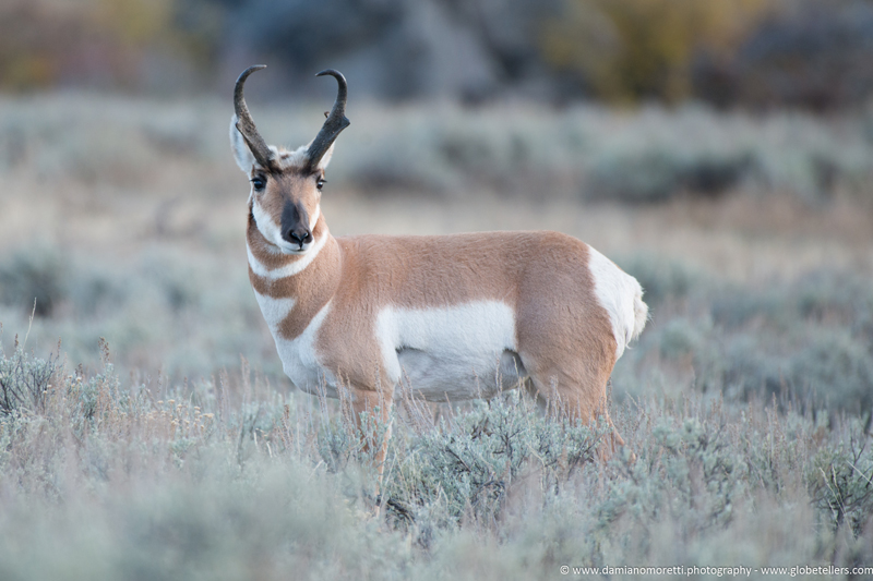 damiano moretti photography - wildlife - Pronghorn Colorado