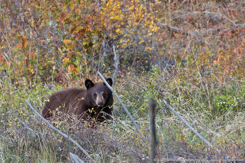 damiano moretti photography - wildlife - Black Bear Cub - Yellowstone