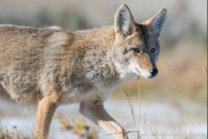 damiano moretti photography - wildlife - Coyote Wyoming