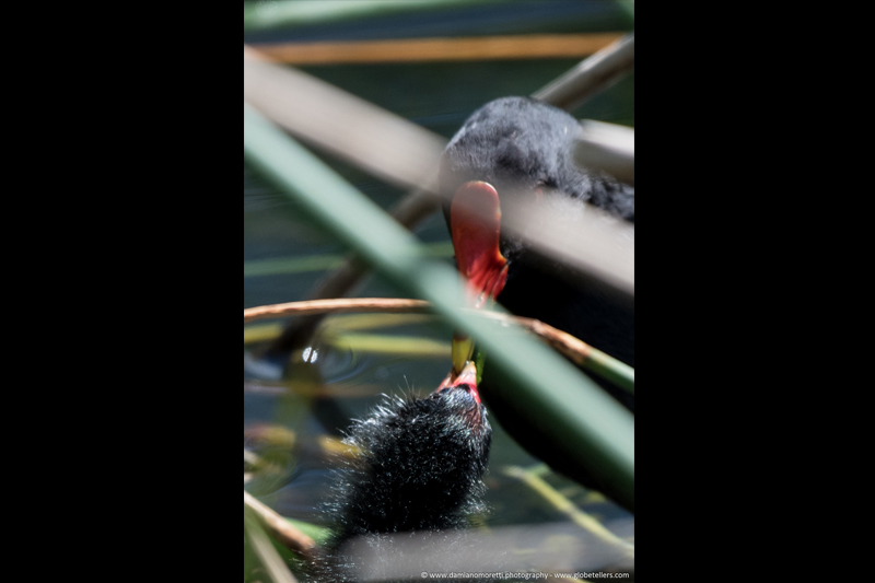 damiano moretti photography - wildlife - Common moorhen & chick