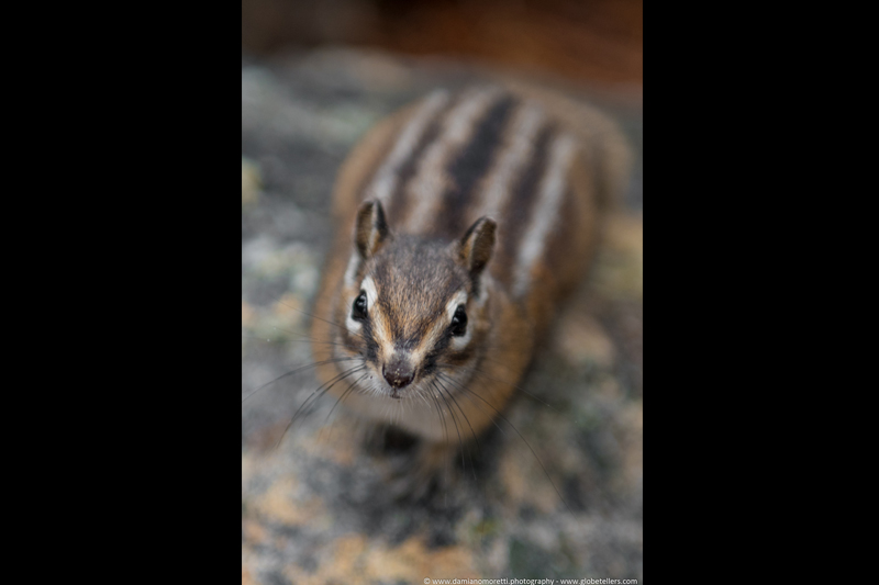 damiano moretti photography - wildlife - Chipmunk