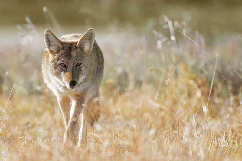 damiano moretti photography - wildlife - coyote - Lamar Valley - Yellowstone NP - WY - USA