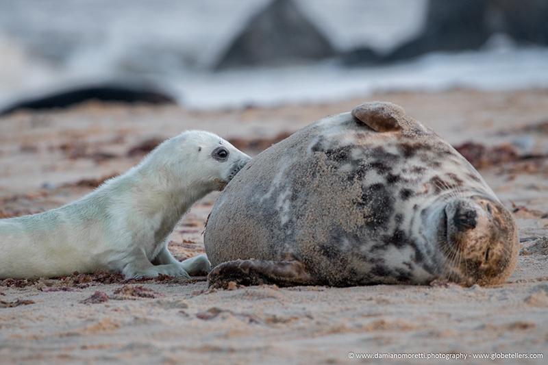 damiano moretti photography - wildlife - Grey Seal