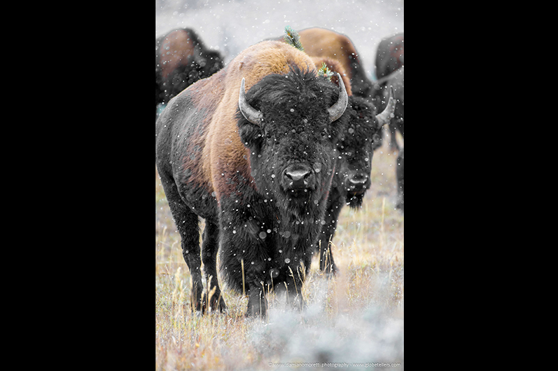 damiano moretti photography - wildlife - American Bison - Yellowstone - Wyoming - USA