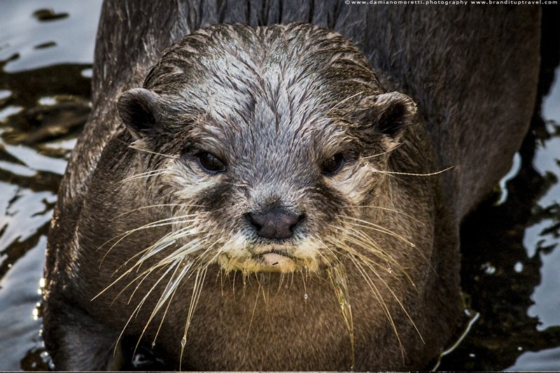 damiano moretti photography - wildlife - otter england