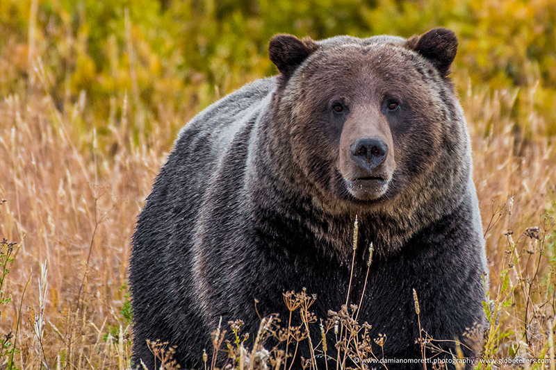 damiano moretti photography - wildlife - Grizzly Bear - Yellowstone - Wyoming - USA