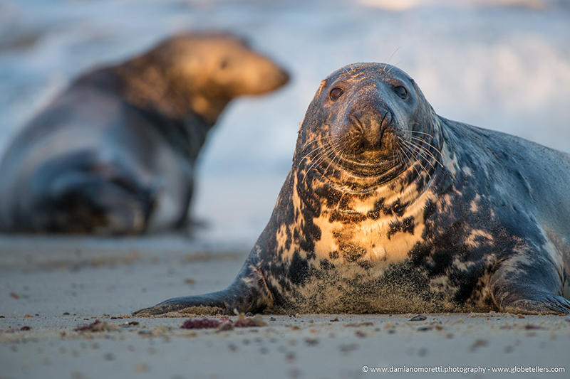 damiano moretti photography - wildlife - Grey Seal Bull - Horsey Gap Norfolk