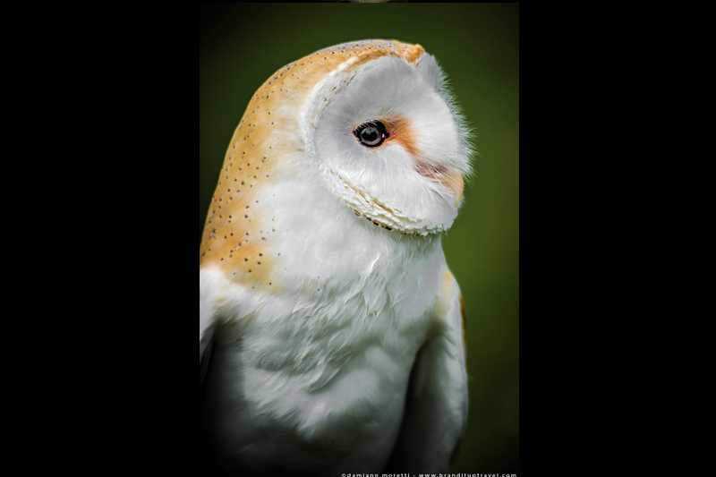 damiano moretti photography - wildlife - Barn Owl