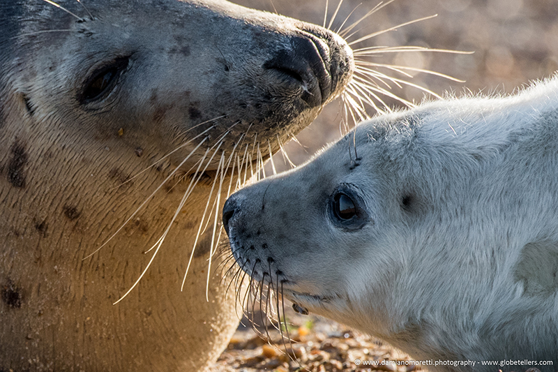 damiano moretti photography - wildlife - Grey Seal Norfolk