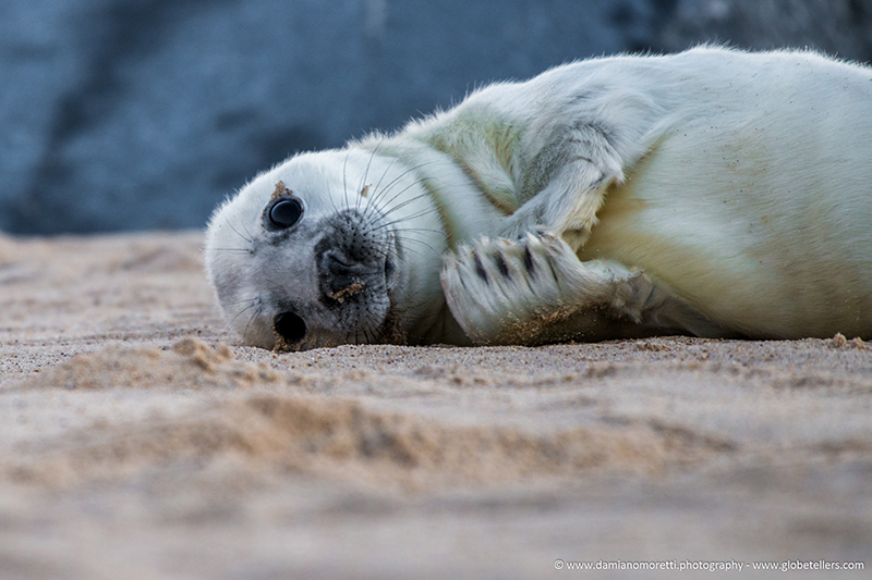 damiano moretti photography - wildlife - Grey Seal Pup - Norfolk